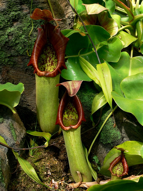 Carnivorous tropical pitcher plantsCarnivorous Pitcher Plants