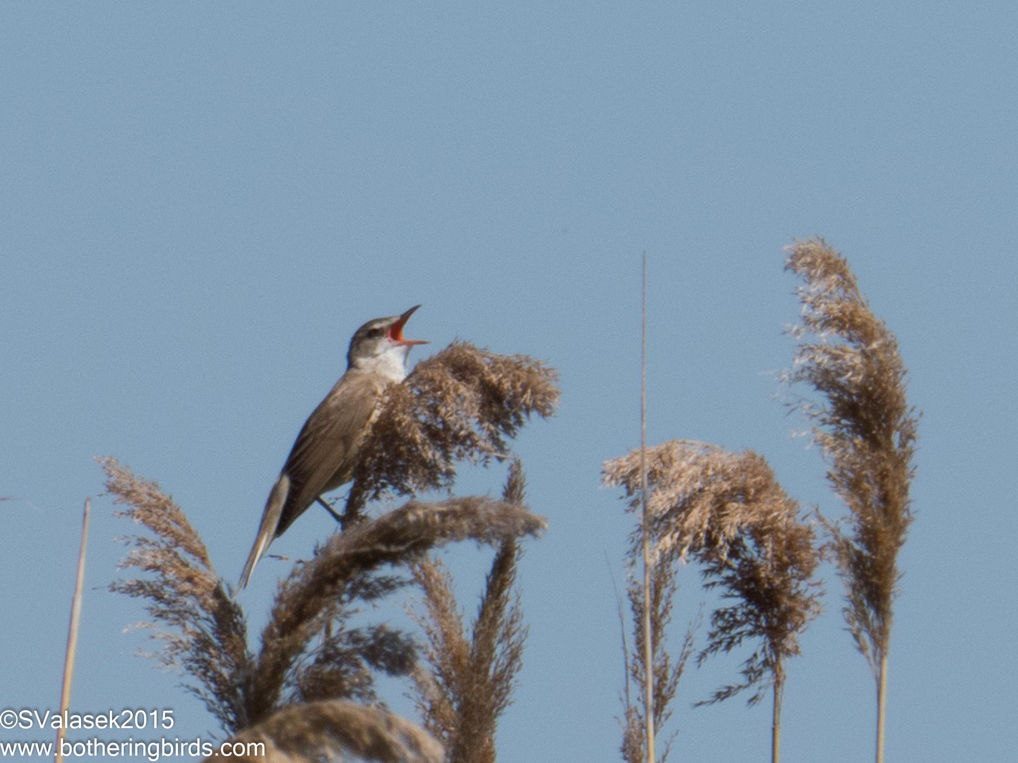 Eurasian Reed-Warbler