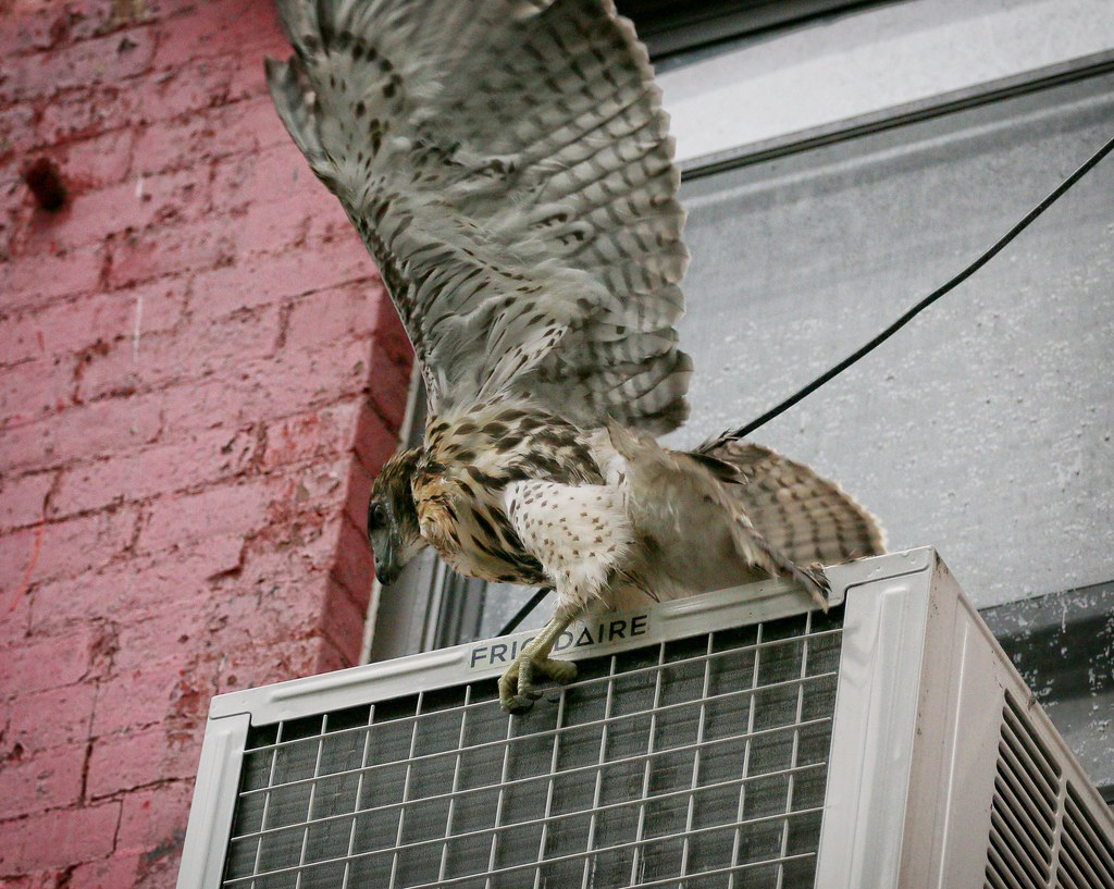 Fledgling #1 drops onto a/c