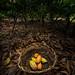 Cacao Fruits Harvest Basket - Chocolate Farm in Malagos Davao
