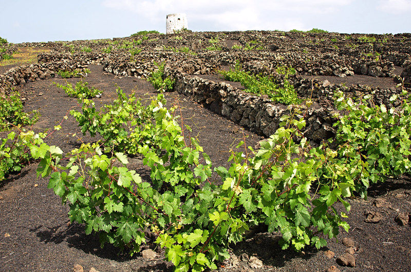 Vineyard beside path, Lanzarote, Canary Islands