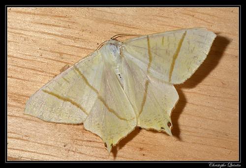 Phalène du sureau (Ourapteryx sambucaria)
