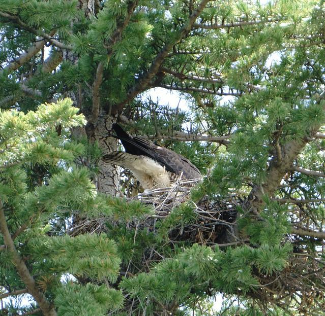 Swainsons Hawk on Nest 3