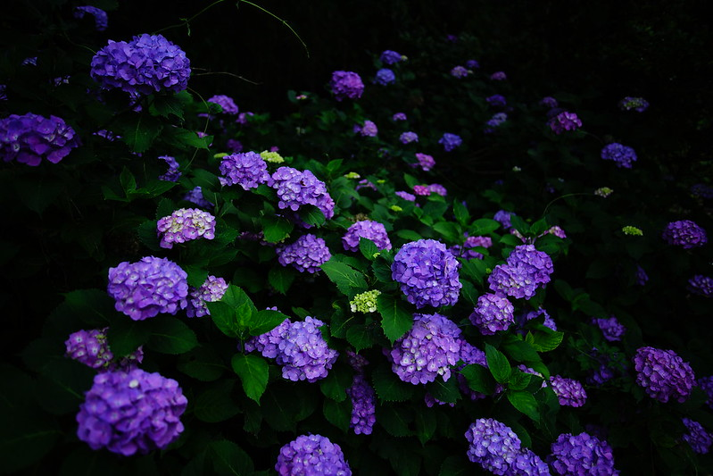 purple pompon