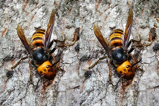 Queen of Vespa mandarinia japonica, stereo cross view | by Mushimizu