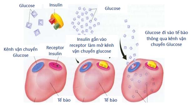 Đái tháo đường xảy ra do thiếu insulin tuyệt đối hoặc tương đối