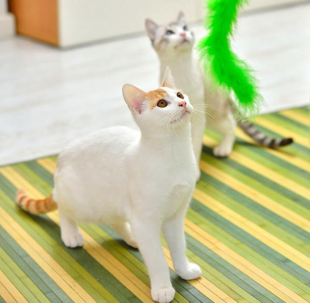 Gary, gatito blanco y naranja cruce Van Turco esterilizado muy activo nacido en Julio´16, en adopción. Valencia. ADOPTADO. 31590428581_449f6ae849_z