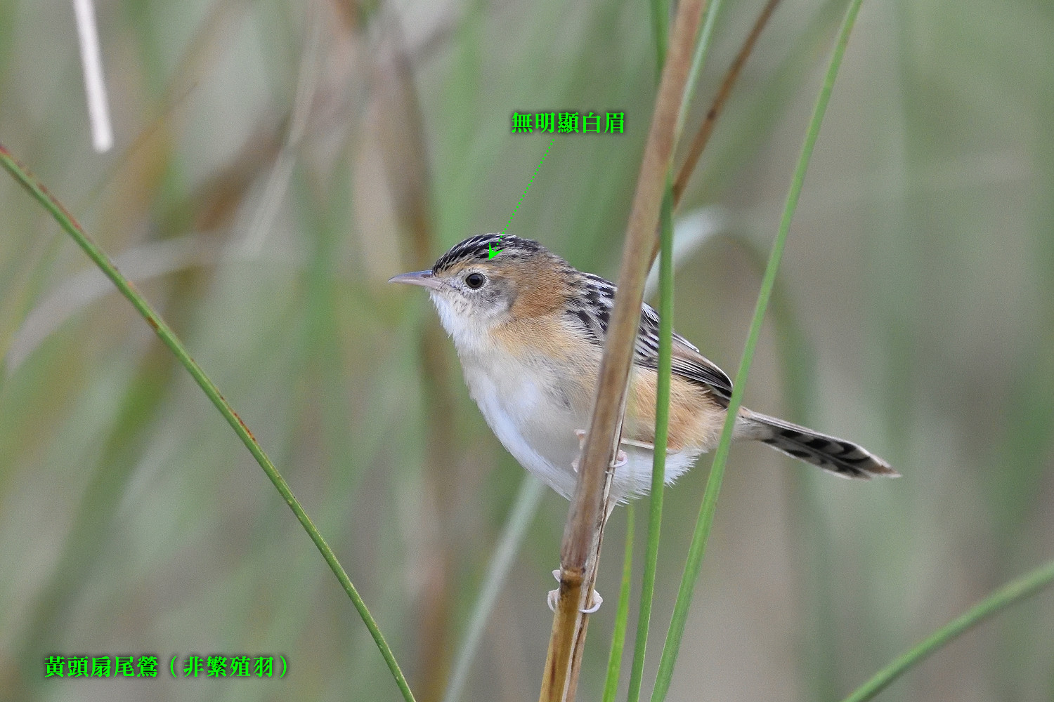 Golden-headed_Cisticola_7712_note