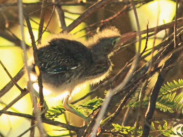 Green Heron nestling 5-20150601
