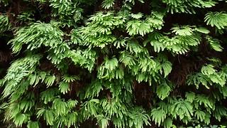 Ferns in Fern Canyon