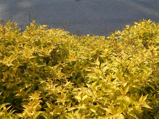 """Keltajapaninangervon (Spiraea japonica """"Goldmound"""") lehtiä 12.6.2015 Meilahden arboretum Helsinki"""