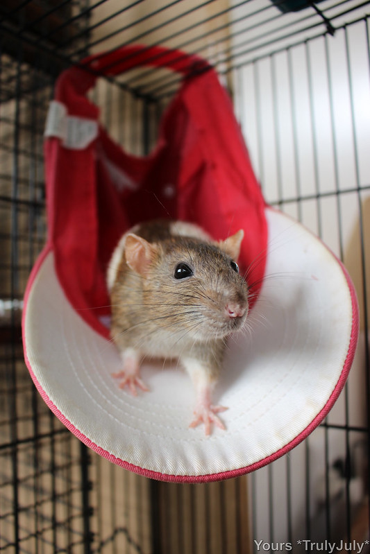 Caps make the perfect rattie hammock!