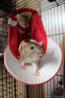 Super practical: The ratties love the cap as a hammock. | by trulyjuly