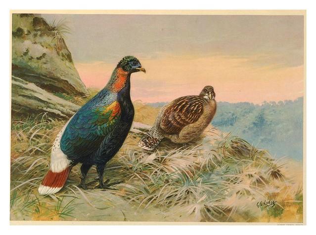003-A monograph of the pheasants-1918. Tomo 1