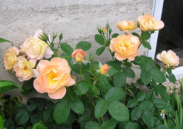 Rosa 'Lark Ascending'
