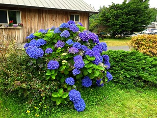 Hydrangeas at Kalaloch Lodge