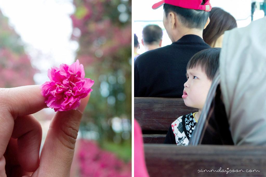 taiwan-cherry-blossom-favc