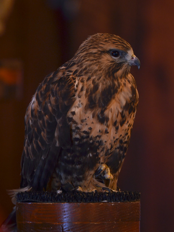 OWL - Rough-Legged Hawk