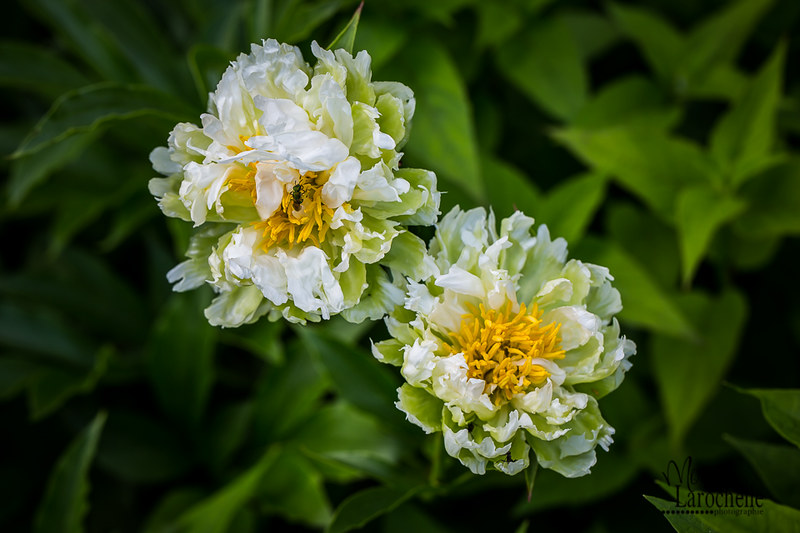 Paeonia Green Halo 18470603364_8673611d1a_c