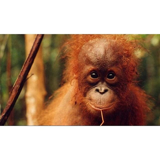 How Sweet Is Our Baby Orangutan In Malaysia Frontiervol Flickr