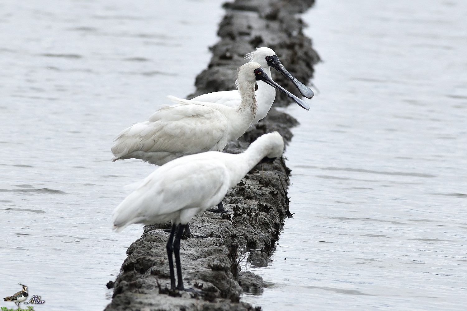 Black-faced_Spoonbill_5180