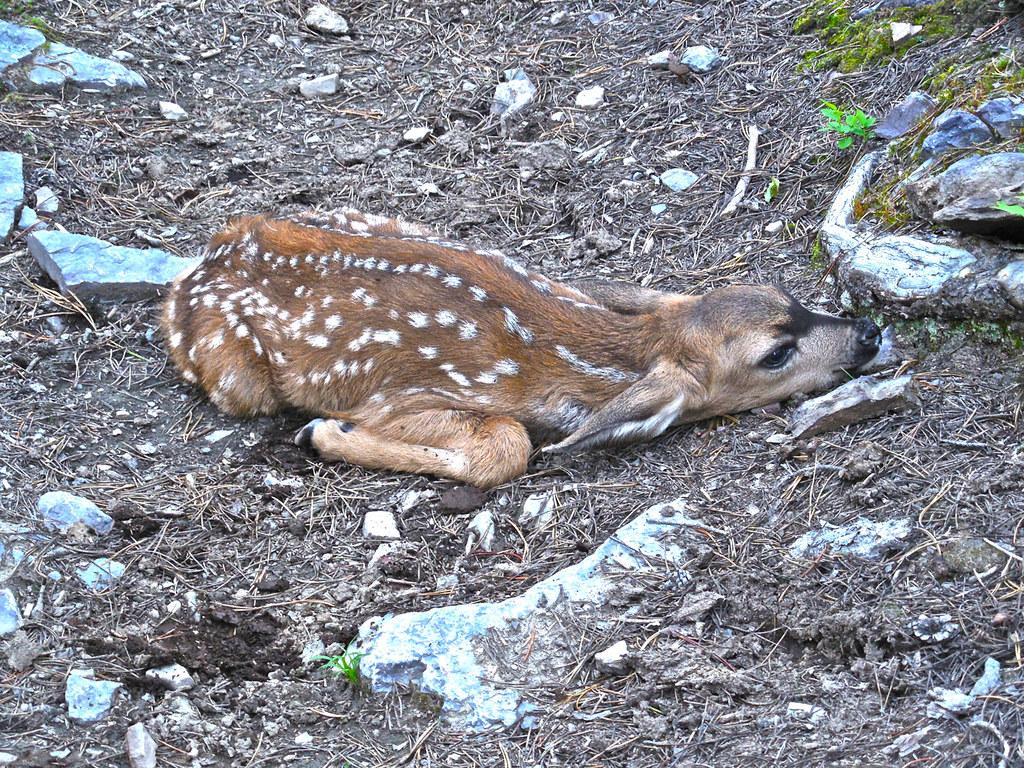 Mule deer fawn (hiding)