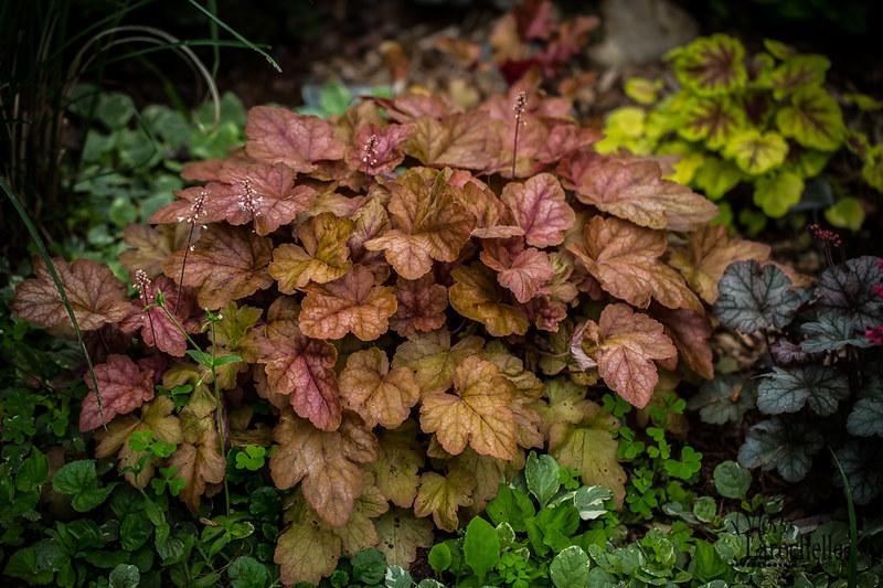 Heucherella  Redstone Falls 18865634168_6f09e49bd8_c