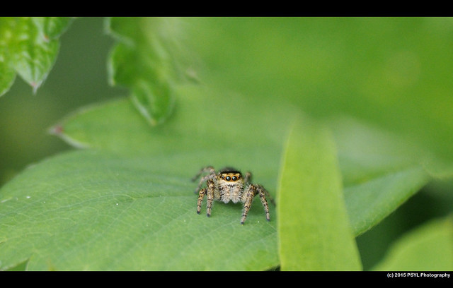 Unknown jumping spider (Salticidae)
