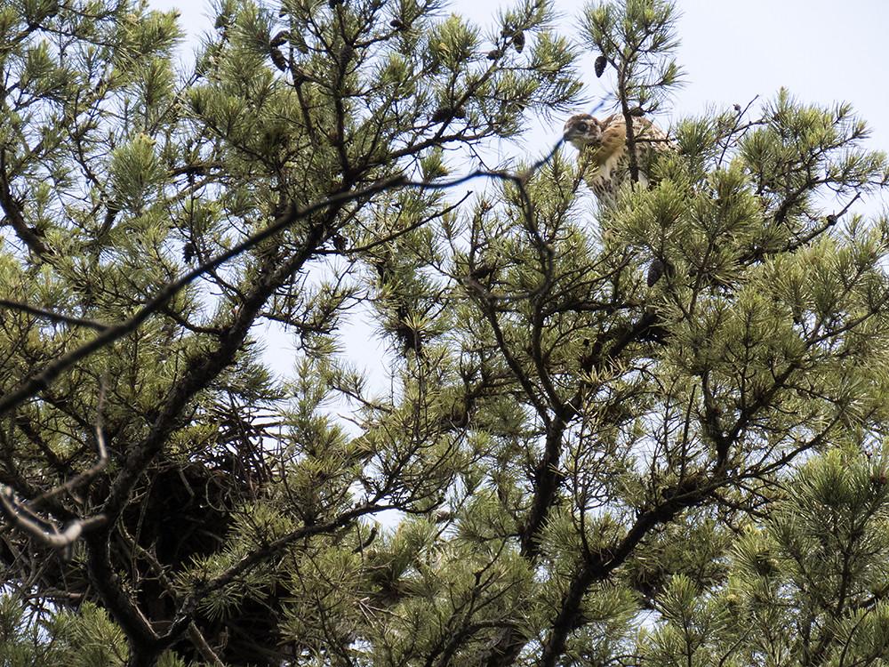 wild hawk fledge