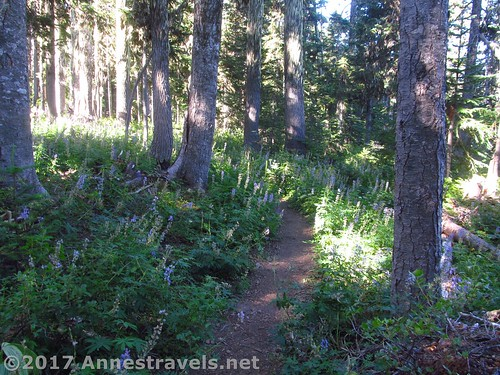 This is what the trail looks like around Elk Meadows, Mount Hood National Forest, Oregon