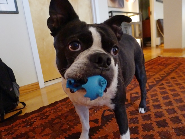 Boston Terrier, with ball
