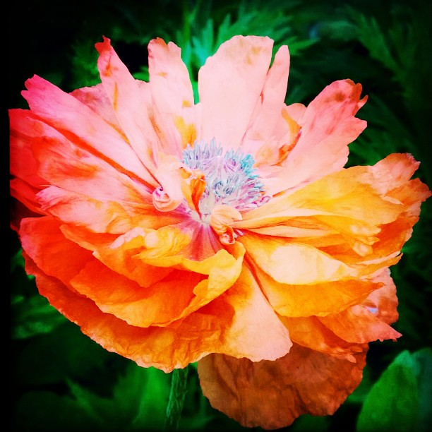 Colors of poppy flowers choice image flower decoration ideas summer colors nature poppy flowers orange colors pop flickr summer colors nature poppy flowers orange colors mightylinksfo