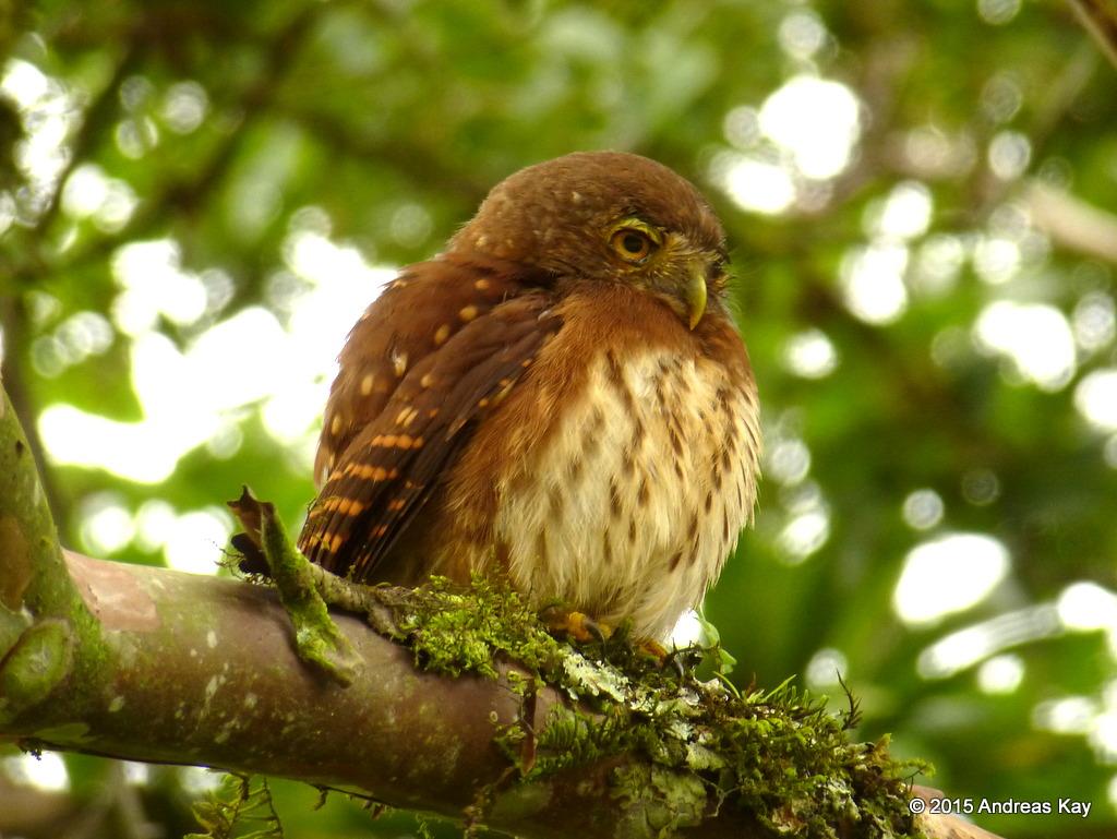 Cloud Forest Pygmy Owl Glaucidium Nubicola From Ecuador