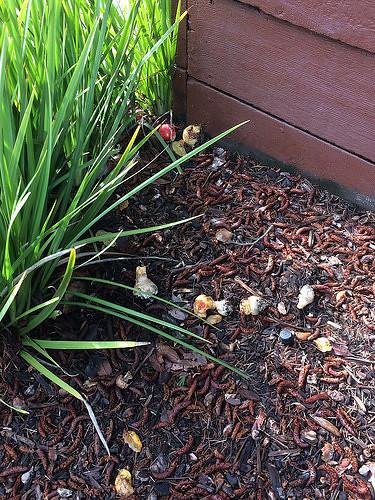 Amanita muscaria mushroom - IMG_0005
