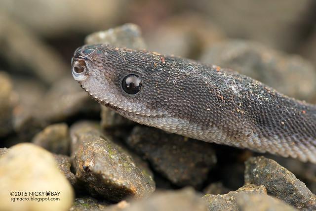 Dragon snake (Xenodermus javanicus) - DSC_4489