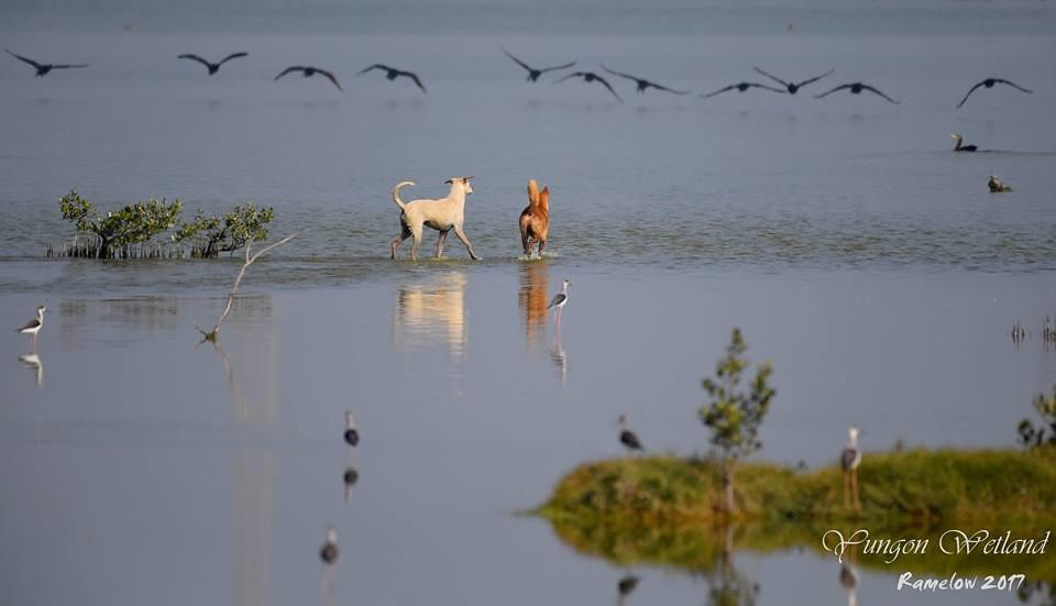 馮建中說,看著鸕鶿身影消逝的狗狗,牠們也知道追不到而放棄狩獵,也許鸕鶿在牠們心中是最大隻,看起來最可口的鳥類;不過下回牠們會學聰明,尋找容易下手的,在動物行為學上這是一種試誤學習!馮建中攝