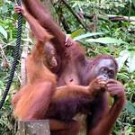Semenggoh - Sarawak - Borneo