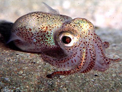 baby_squid | by xtopher42