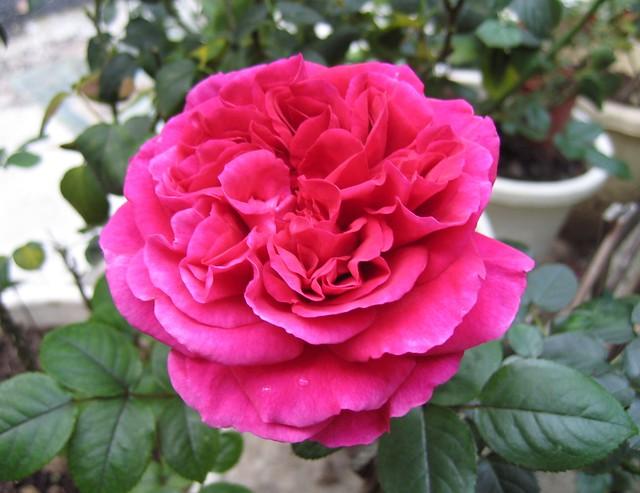 Роза сорта Фишермэнс Френд, фото фотография цветы