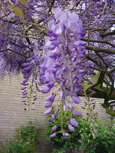 Purpleblue flowering trees flickr mightylinksfo
