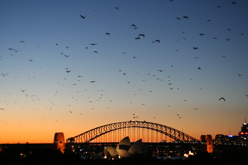 Sydney - Bats at dusk | by Naddsy