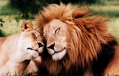 Lions in love! | by fanz