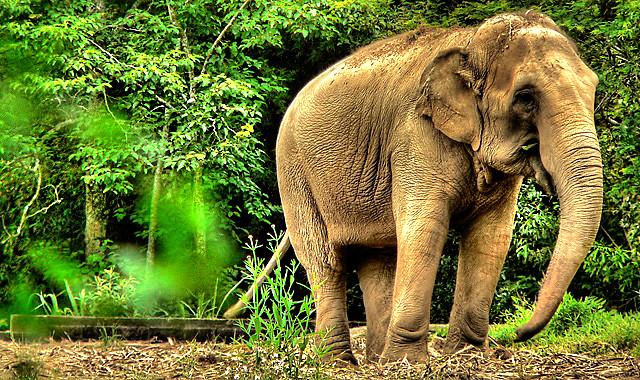 Elefante / Elephant