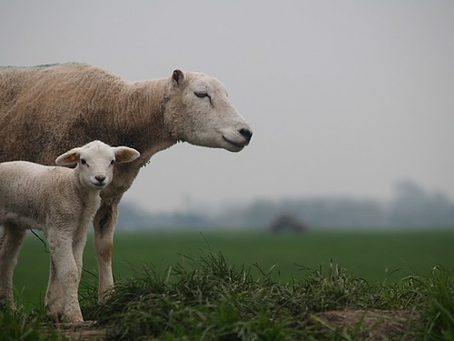 sheep  &  her lamb | by janGlas