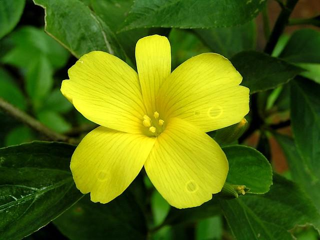 Yellow flax reinwardtia indica common name yellow flax flickr yellow flax reinwardtia indica by santhosh0123 mightylinksfo