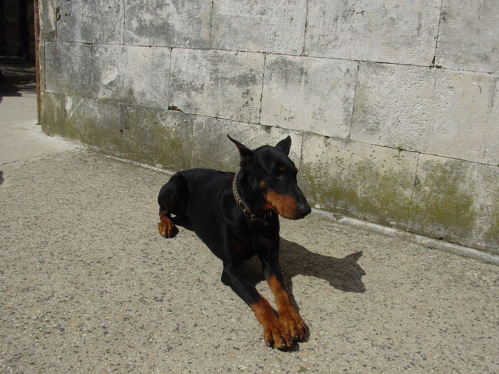 Doberman This Was A Quot Holy Water Drinking Quot And Most