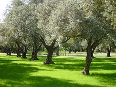 olive grove | by .Leili