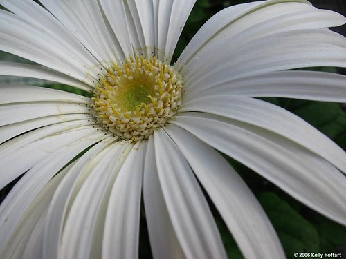 White Gerber Daisy | by Full Metal Photographer