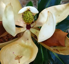 Magnolia in Decline | by mothernature photography
