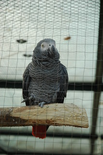 African Grey | by donut2D